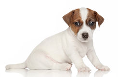 Jack Russell Terrier puppy (1 month) Royalty Free Stock Photos