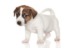 Jack Russell Terrier puppy 1 month old Stock Photo