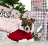 Jack Russell Terrier puppy, 11 weeks old. With Christmas gifts in front of white background Royalty Free Stock Images