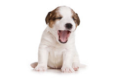 Jack Russell terrier puppy Stock Photography