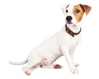 Jack Russell terrier, puppy Royalty Free Stock Photography