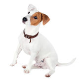 Jack Russell terrier, puppy Stock Photography