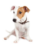 Jack Russell terrier, puppy Stock Images