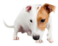 Jack Russell terrier, puppy Royalty Free Stock Photos
