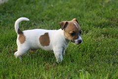 Jack Russell Terrier Puppy. In the garden Stock Image