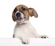 Jack Russell Terrier puppy, 2 months old Stock Photos