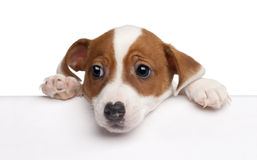 Jack Russell Terrier puppy, 2 months old Royalty Free Stock Photography