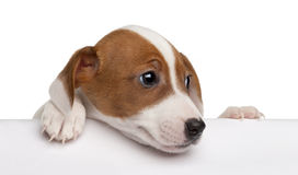 Jack Russell Terrier puppy, 2 months old Stock Image