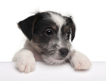 Jack Russell Terrier puppy, 2 months old Stock Images