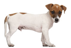 Jack Russell Terrier puppy, 3 months old Stock Image