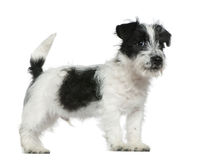 Jack Russell terrier puppy, 4 months old Royalty Free Stock Images