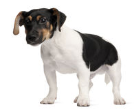 Jack Russell Terrier puppy, 5 months old Stock Photography