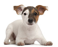 Jack Russell Terrier puppy, 5 months old Stock Photo