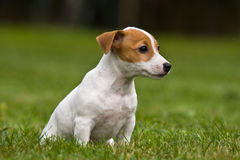 Jack Russell Terrier puppy Stock Photos