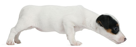 Jack Russell Terrier puppy, 7 weeks old Stock Images