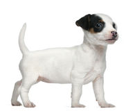 Jack Russell Terrier puppy, 7 weeks old. Standing in front of white background Stock Photography