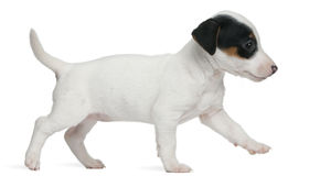 Jack Russell Terrier puppy, 7 weeks old, walking Stock Images