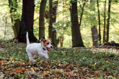 Jack Russell terrier puppy in autumn park, beautiful blurry colors. Royalty Free Stock Photo