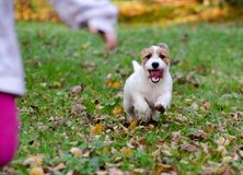 Jack Russell terrier puppy in autumn park, beautiful blurry colors. Stock Photos