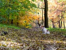 Jack Russell terrier puppy in autumn park, beautiful blurry colors. Royalty Free Stock Image