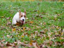 Jack Russell terrier puppy in autumn park, beautiful blurry colors. Royalty Free Stock Photography