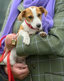 Jack Russell Terrier puppy being cradled Stock Photo