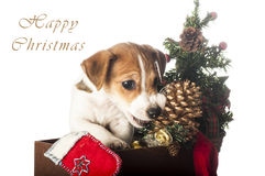 Jack Russell Terrier puppy chewing Christmas pine cone Stock Photography