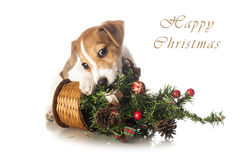 Jack Russell Terrier puppy with Christmas tree Royalty Free Stock Photography