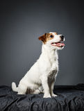 Jack Russell terrier puppy Stock Image