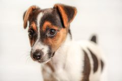 Jack Russell terrier puppy, detail on head, with light background. Jack Russell terrier puppy, detail on head, with light background royalty free stock images