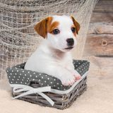 Jack Russell Terrier puppy dog in the basket on the wooden background with a fishing net. Jack Russell Terrier dog puppy in the basket on the wooden background royalty free stock image