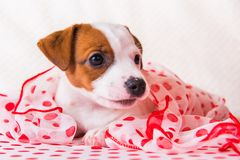 Jack Russell Terrier puppy dog with polka dots silk scarf royalty free stock photo
