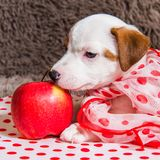 Jack Russell Terrier puppy dog with red apple stock images