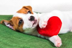 Jack Russell Terrier puppy dog with red heart. stock image