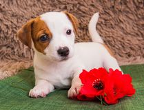 Jack Russell Terrier puppy dog with red poppy flower. stock photos