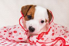 Jack Russell Terrier puppy dog in retro style royalty free stock image