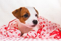 Jack Russell Terrier puppy dog in retro style stock photography