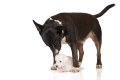Jack russell terrier puppy with english bull terrier dog Royalty Free Stock Photos