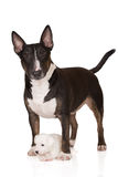 Jack russell terrier puppy with english bull terrier dog Royalty Free Stock Photography