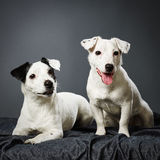 Jack Russell terrier puppy and female Royalty Free Stock Photography