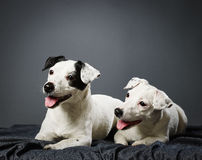 Jack Russell terrier puppy and female Royalty Free Stock Image