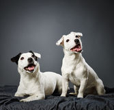 Jack Russell terrier puppy and female Stock Photo
