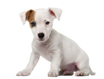 Jack Russell Terrier puppy in front of a white ba Stock Images