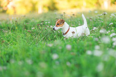 Jack Russell Terrier puppy in the grass Royalty Free Stock Image