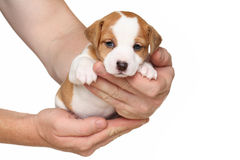 Jack Russell terrier puppy in hands Royalty Free Stock Photos