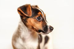 Jack Russell terrier puppy isolated on light background, detail on her head.  stock image