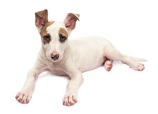 Jack Russell Terrier puppy Royalty Free Stock Photo