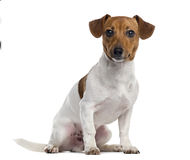Jack Russell Terrier puppy isolated on white Royalty Free Stock Images
