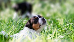 The jack russell terrier puppy lies in the backyard and rests. The jack russell terrier dog lies backyard and rests Royalty Free Stock Photography