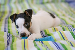 Jack Russell terrier puppy is lying on the bed with colorful linens Stock Image